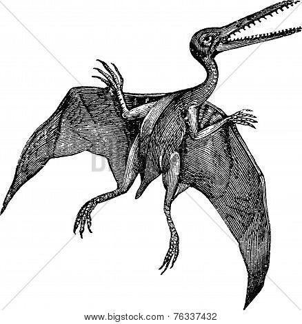 Pterodactylus Or Pterodactylus Antiquus Vintage Engraving