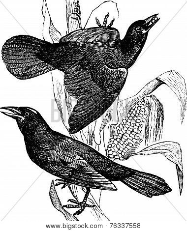 Purple Grackle. (quiscalus Versicolor). - 1. Female. 2. Male, Vintage Engraving.