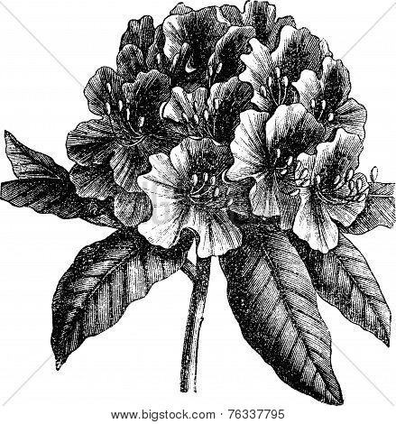 Catawba Rhododendron Or Rhododendron Catawbiense Vintage Engraving