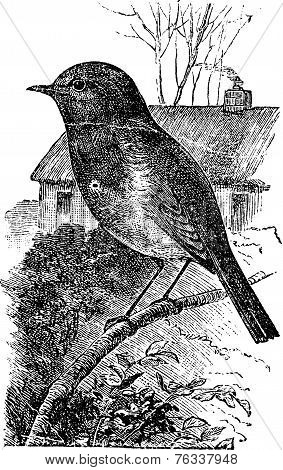 European Robin Or Erithacus Rubecula Vintage Engraving