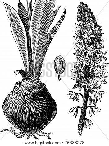 Sea Squill (urginea [scilla] Maritima), Vintage Engraving.