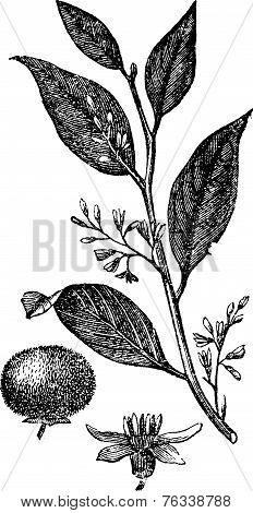 Styrax Benzoin Or Gum Benjamin Tree, Vintage Engraving.