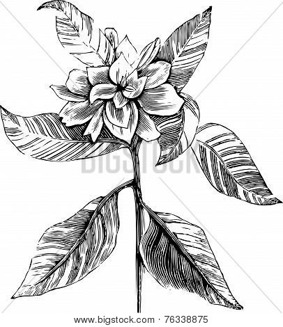 A Common Gardenia Engraving Illustration