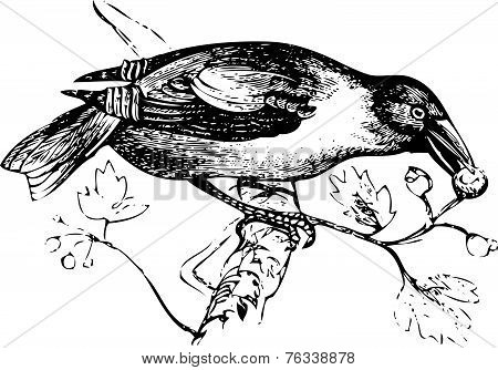 An Old Engraving Of A Hawfinch Or Grosbeak Eating