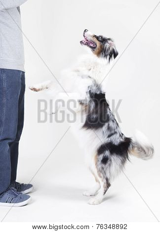 Australian Shepherd With Owner