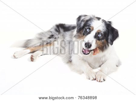 Australian Shepherd With Bone