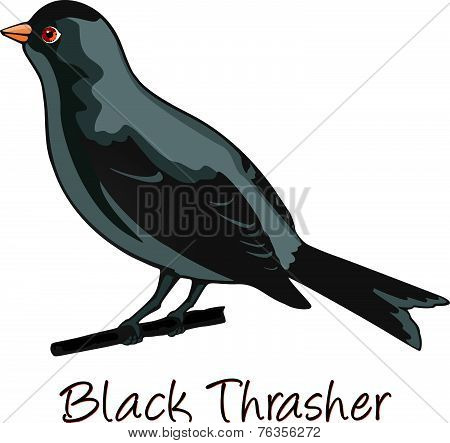 Brown Trasher, Color Illustration