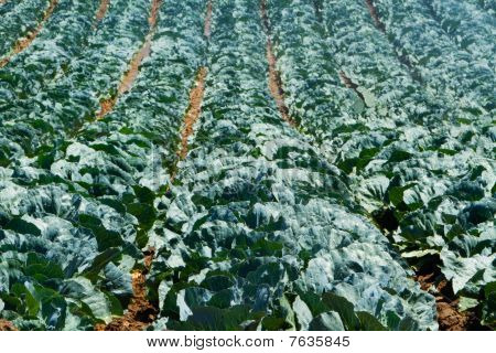 California Cabbage Crop