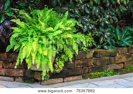 Green Fern In Garden