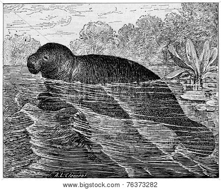 Manatee Or Sea Cows, Vintage Engraving.