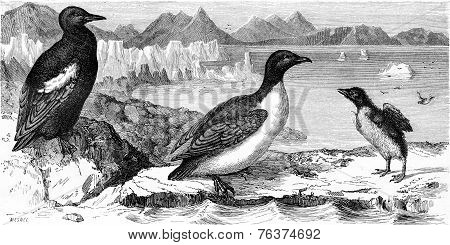 Guillemot Mirror And White Penguin Macroptera, Vintage Engraving.