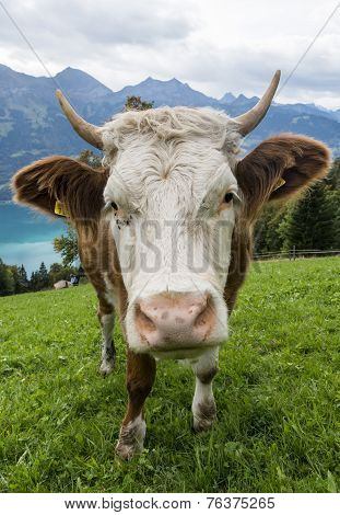 Head Of Cow In Meadow