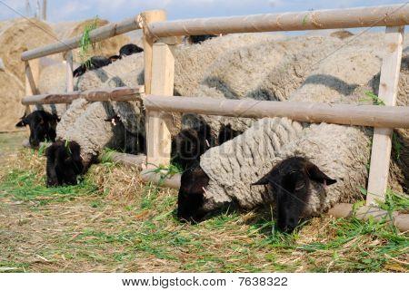 Sulffolk Sheeps