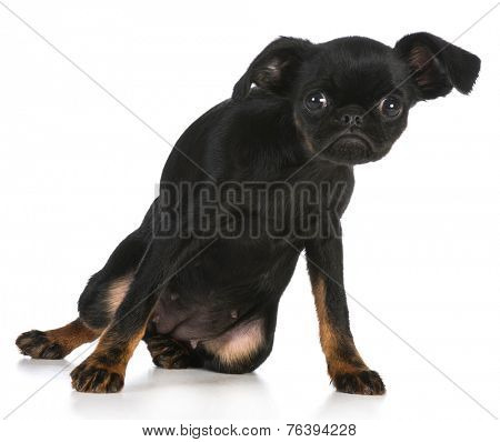 cute puppy - brussels griffon puppy with attitude on white background