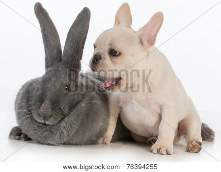 french bulldog puppy with mouth open beside flemish bunny on white background