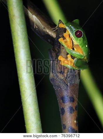 Red-eyed tree frog clinging to plant, night.