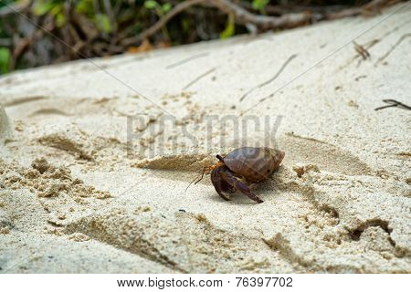 Side View of Small Hermit Crab Walking on Sand