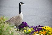 image of mother goose  - A Canadian goose mother watches over her newborn chicks - JPG