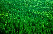 pic of pine-needle  - Evergreen fir tree background - JPG