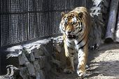 image of novosibirsk  - Beautiful Siberian tiger in a cage - JPG
