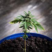 image of weed  - Medical marijuana plant close up shot - JPG