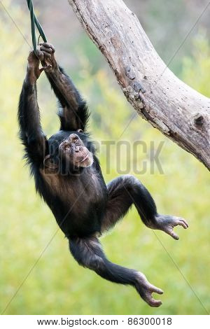 Swinging Chimp VI