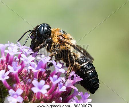 Bumblebee On Purple Flower III
