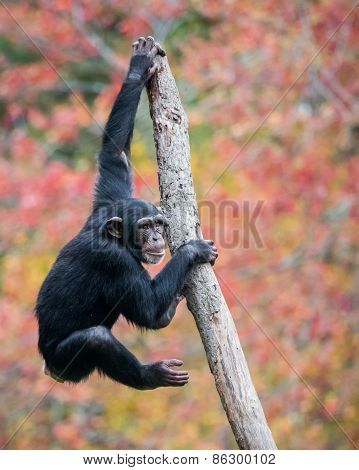 Climbing Chimp II