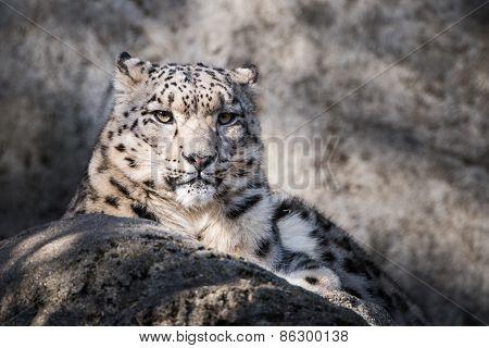 Snow Leopard XVII