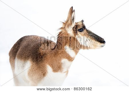 Pronghorn In Snow III