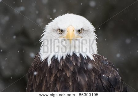 Bald Eagle In Snow IV