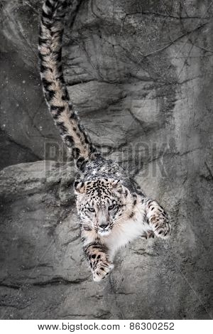 Snow Leopard Wall Bounce