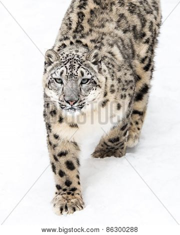 Snow Leopard On The Prowl III