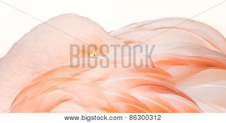Flamingo Closeup III