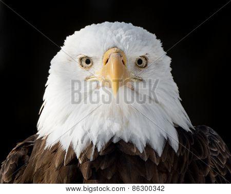 Bald Eagle XIV