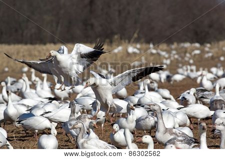 Greater Snow Geese Landing