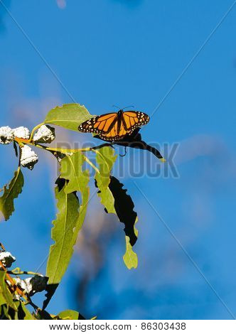 Monarch butterflies in a eucalyptus tree in California