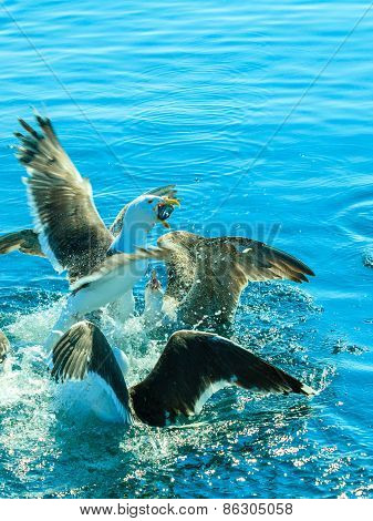 Many Seagull Birds Fishing In The Sea
