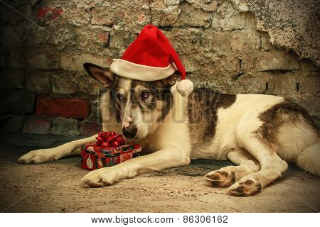 Sad Malamute Dog In A Santa Hat
