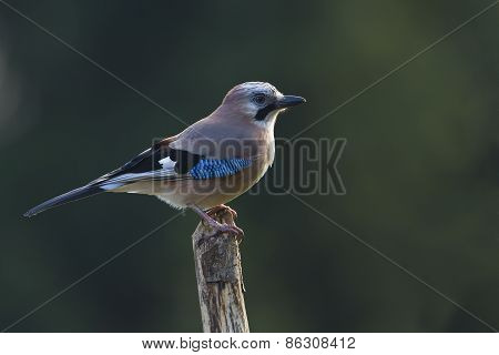 Garrulus glandarius, eurasian jay perched on a branch, Vosges, France