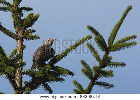 mistle thrush perched on a fir tree, Vosges, France