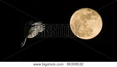 great tit flying by night on full moon, France