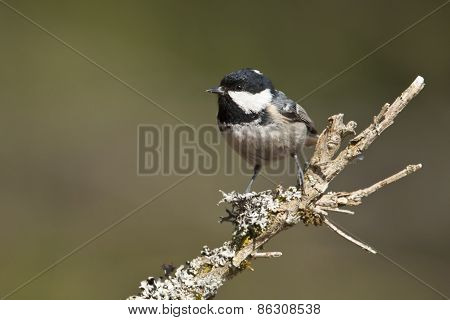 coal tit perched on a branch, Vosges, France