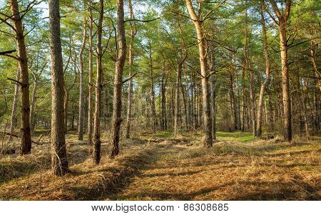 Beautiful Green Pine Trees In Spring Forest At Sunset. Spruce