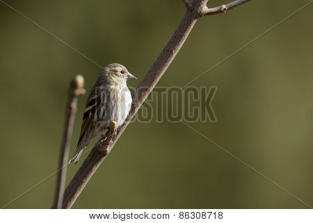 Carduelis spinus, eurasian siskin perched on a branch,  France