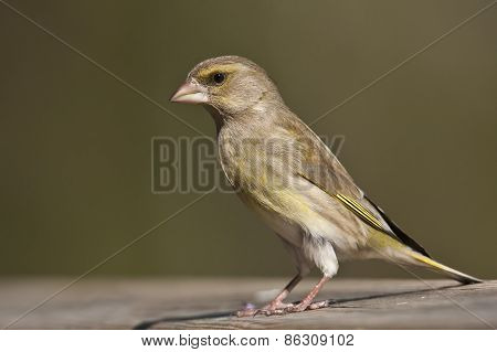 european greenfinch standing on a table, Vosges, France