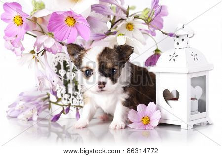 Chihuahua hua puppy and delicate flowers