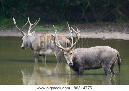 couple male elaphure deer in water