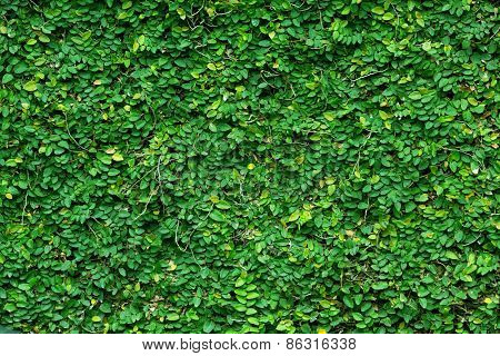 Green tropical climbing plant covering a stone wall