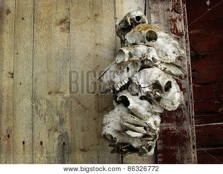 Animals skulls hanging on a barn wall